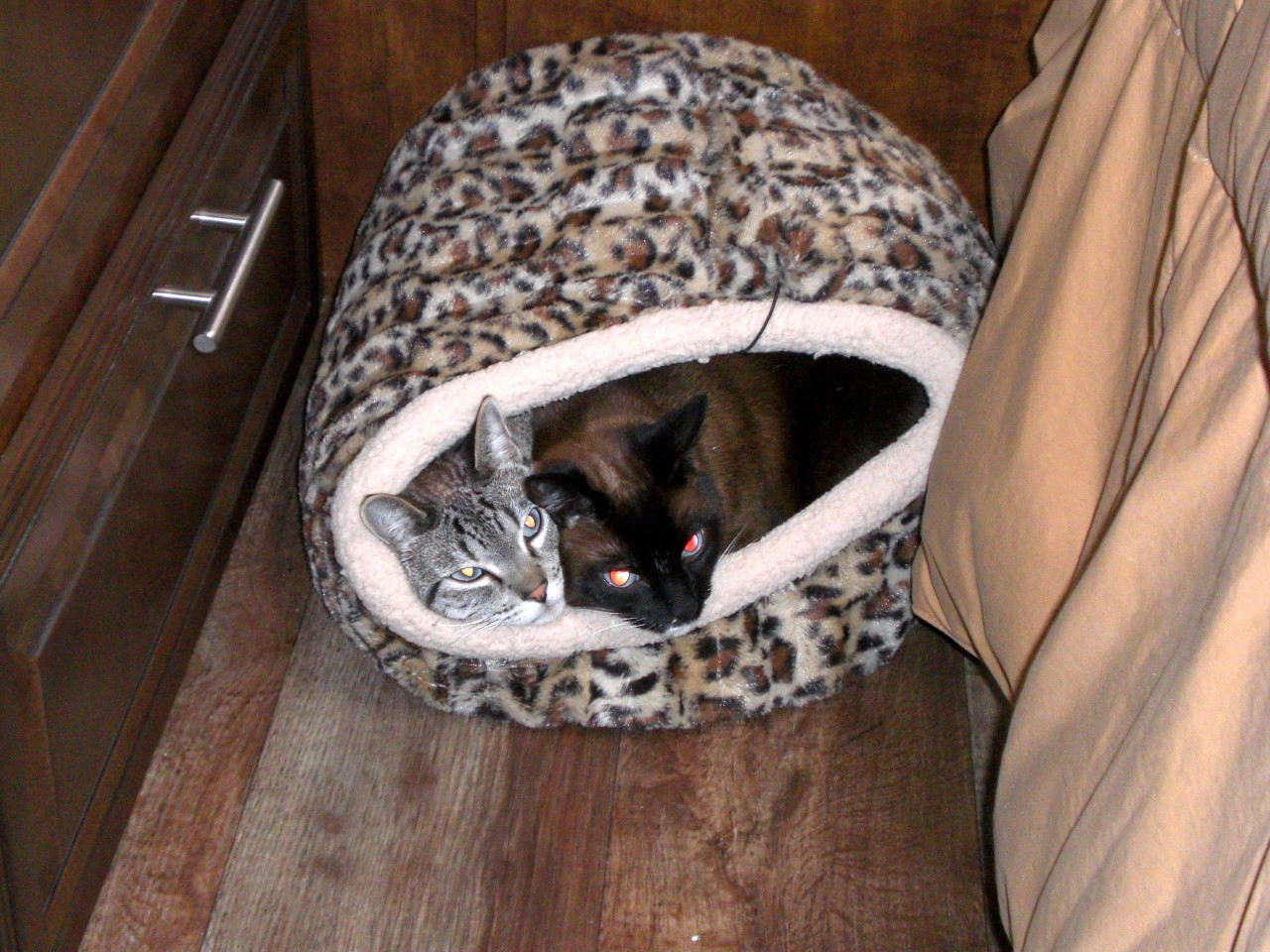 Kitties squeezed into one cat cozy