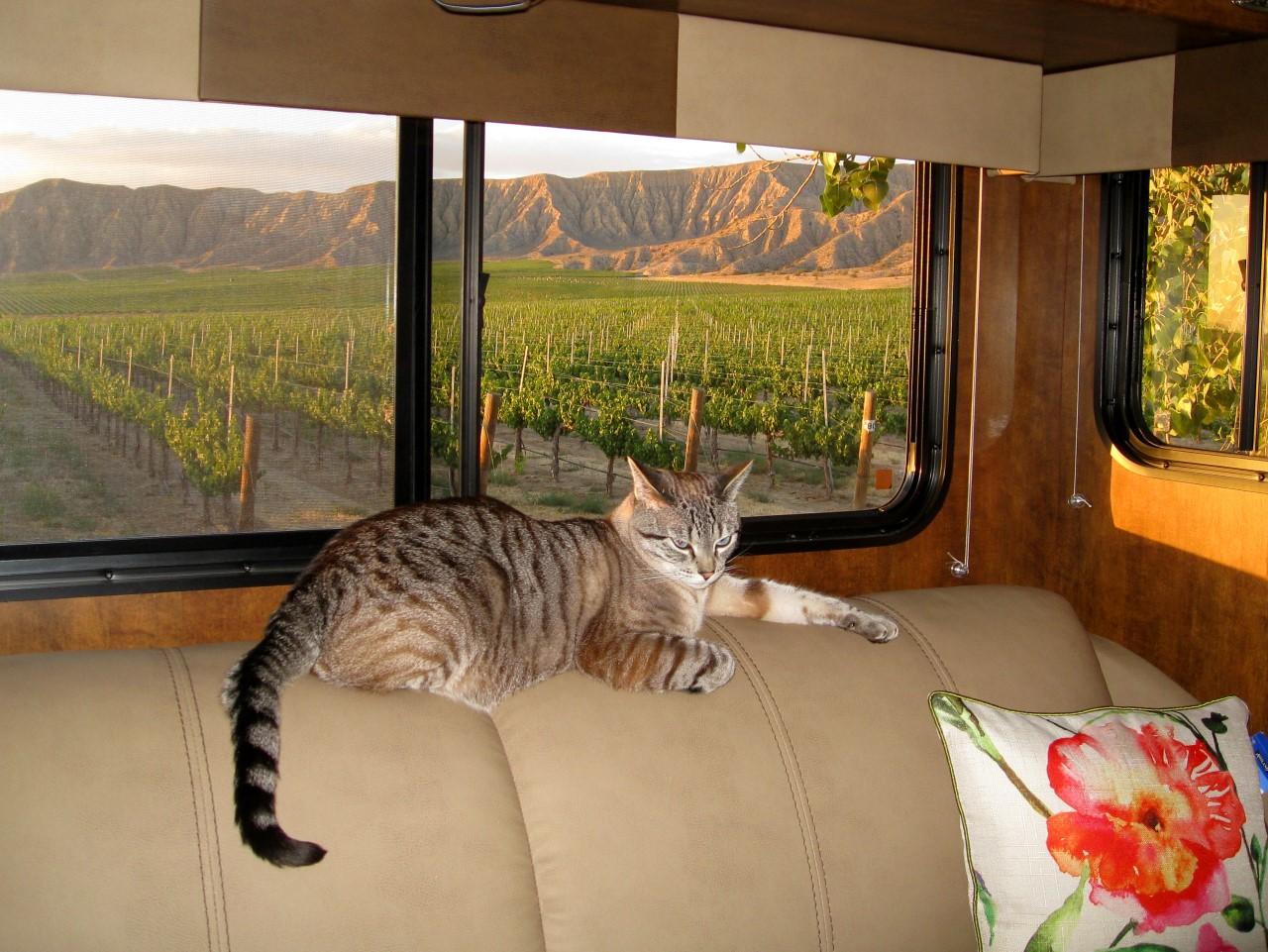 Sagebrush Annie's Winery cat